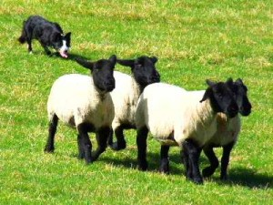Orkney's first sheepdog trials in a decade take place tomorrow, Sunday.