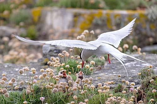 Arctic Tern, by Raymond Besant.