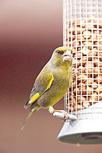 The greenfinch was one of the top ten recorded garden birds in the Orkney in 2014.