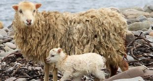North Ronaldsay sheep on the beach, North Ronaldsay.7/5/13Tom O'Brien
