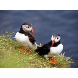 Orkney Card - Atlantic Puffins