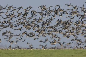 Orkney farmers urged to volunteer for goose management study