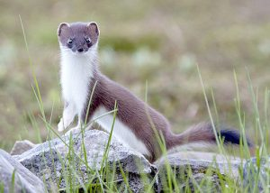 £6 million stoat project to bring more than 20 jobs to Orkney