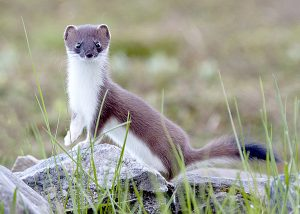 Appeal for landowners' input in tackling stoat problem