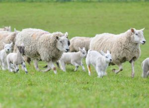 Dog owners reminded to keep control around livestock