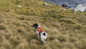 Stoat detecting dog set to work in Orkney