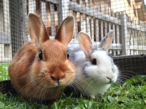 Deadly rabbit virus confirmed in Orkney