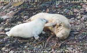 Sanday Sealcam 2018 goes live