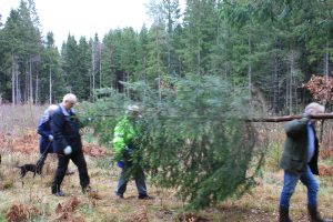 Tree destined for St Magnus Cathedral felled in Norway
