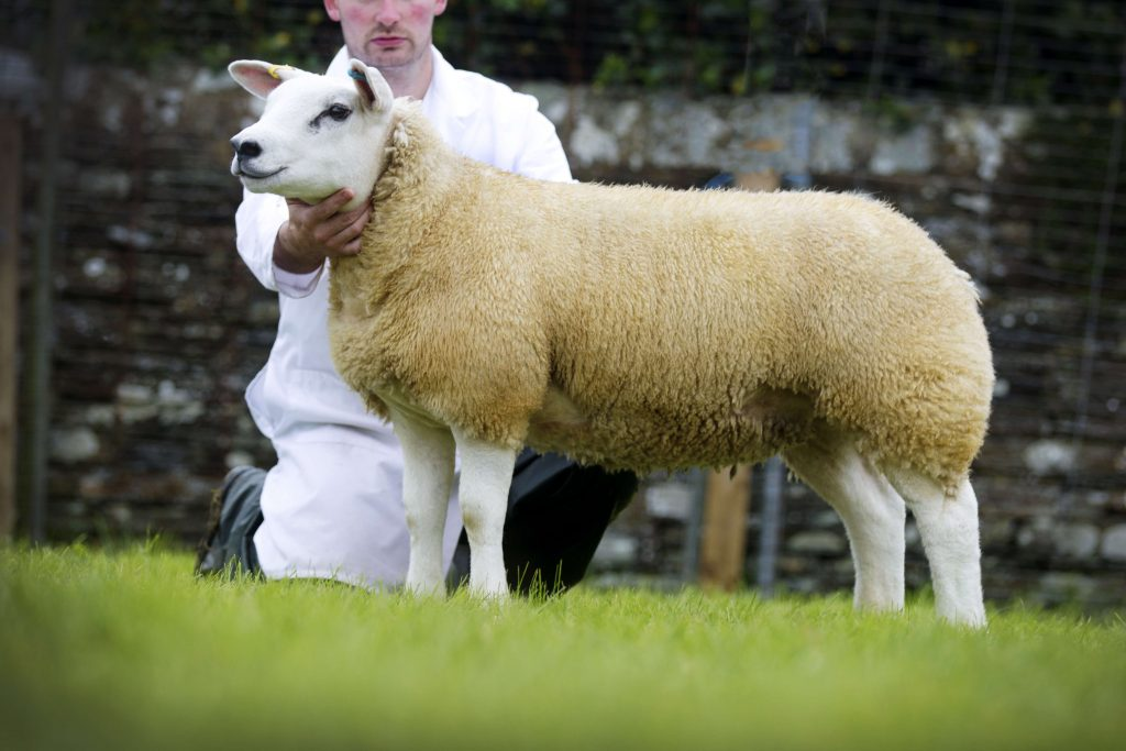 2014 Orkney County Show sheep champion